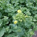 菜の花の散歩道